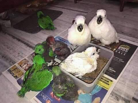 Jual Burung Kakatua Jambul Putih Parrot Store