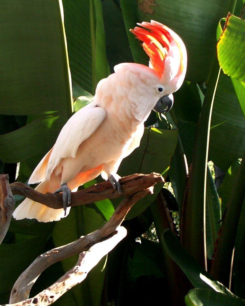 Jual Burung Kakatua Mollucan Parrot Store